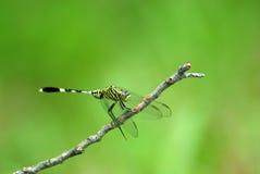 libélula Imagem de Stock Royalty Free
