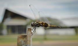 A libélula agarra duramente imagem de stock royalty free