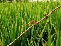 Libélula amarela nos campos do arroz Fotografia de Stock Royalty Free