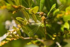 Libélula Amarelo-equipada com pernas fêmea de Meadowhawk, close up Imagem de Stock Royalty Free
