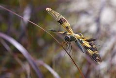 Libélula amarilla del ala Foto de archivo