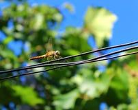 libélula amarilla que se sienta en una cuerda Foto de archivo libre de regalías