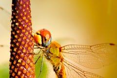 Libélula anaranjada Imagen de archivo libre de regalías