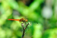 Libélula anaranjada Fotografía de archivo libre de regalías