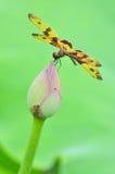 Libélula (arria do variegata de Rhyothemis) Imagem de Stock