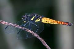 Libélula asiática amarela Fotos de Stock Royalty Free