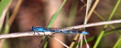Libélula azul Fotos de archivo
