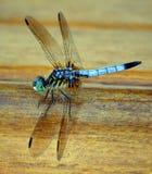 Libélula azul Imagem de Stock