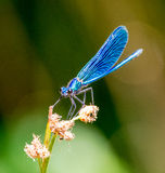 Libélula azul Imagen de archivo