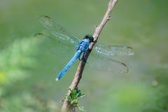 Libélula azul Imagens de Stock