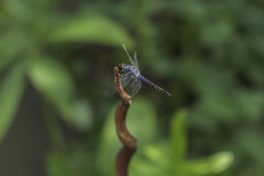 Libélula azul Foto de Stock