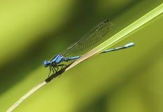Libélula azul Fotos de archivo libres de regalías