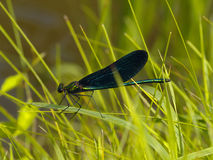 A libélula azul brilhante na erva Foto de Stock Royalty Free
