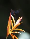 libélula Azul-coa alas Fotos de archivo libres de regalías