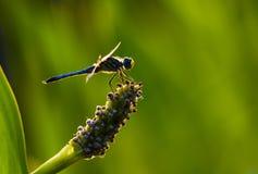 Libélula azul de Dasher Foto de archivo libre de regalías