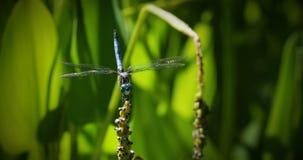 Libélula azul de Dasher que se sienta en tronco con las hojas verdes metrajes
