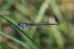 Libélula azul e preta Foto de Stock Royalty Free