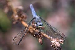 Libélula azul em um ramo secado foto de stock
