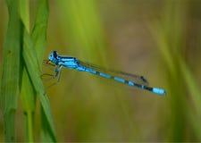 Libélula azul en hierba Fotos de archivo