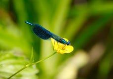 Libélula azul en la flor Foto de archivo libre de regalías