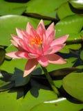 Libélula azul en la flor rosada del lirio de agua Fotografía de archivo