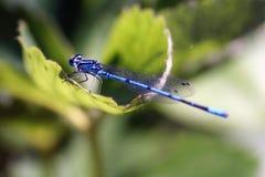 Libélula azul en la planta Imagen de archivo libre de regalías