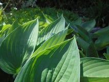 Libélula azul en las hojas del hosta fotos de archivo libres de regalías