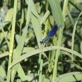 Libélula azul en una hoja Imagenes de archivo