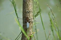 Libélula azul no tronco de árvore de um salgueiro perto da lagoa - Odonata Fotos de Stock Royalty Free