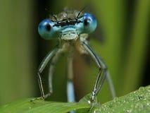 Libélula azul - puella de Coenagrion Imagenes de archivo