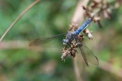 Libélula azul que se aferra en el extremo de una rama secada fotografía de archivo libre de regalías