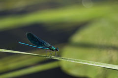 Libélula azul que se sienta en una cuchilla de la hierba fotos de archivo libres de regalías
