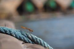 Libélula cogida en las cuerdas Fotografía de archivo libre de regalías