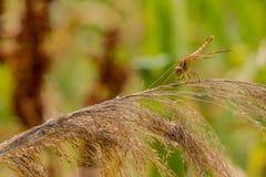 Libélula coloreada de oro en la acción del trigo de invierno Fotos de archivo