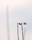 Libélula común del Whitetail fotos de archivo