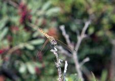 A libélula comum do Darter empoleirou-se em um ramo leafless em Itália Imagem de Stock Royalty Free