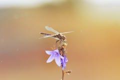 Libélula con los ojos grandes que se sientan en una campana de la flor Foto de archivo