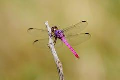 Libélula cor-de-rosa e roxa Fotos de Stock Royalty Free