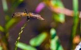 Libélula de Beautyful e natureza do borrão Imagem de Stock