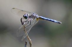 Libélula del darter azul Foto de archivo