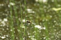 A libélula do verão chamou o mosaico mais darner em um fundo bonito Foto de Stock Royalty Free