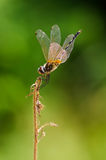 Libélula dourada na árvore inoperante com fundo da natureza Imagem de Stock Royalty Free