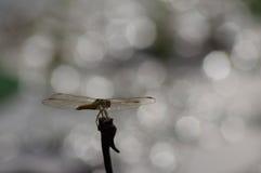 Libélula dourada na silhueta com bokeh brilhante no backgrou Fotografia de Stock