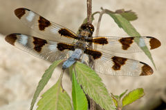 libélula Doze-manchada da espumadeira Fotos de Stock Royalty Free