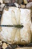 Libélula em uma pedra Fotos de Stock Royalty Free