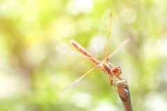 libélula em uma vara, fundo verde Fotografia de Stock