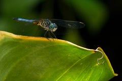 A libélula empoleirou-se na borda da folha, asas para fora fotos de stock