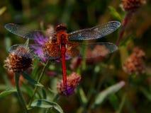 Libélula en cardos del prado de la flor Foto de archivo