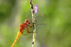 Libélula en el tronco de la flor púrpura Fotos de archivo libres de regalías