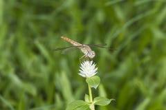 Libélula en flor Foto de archivo